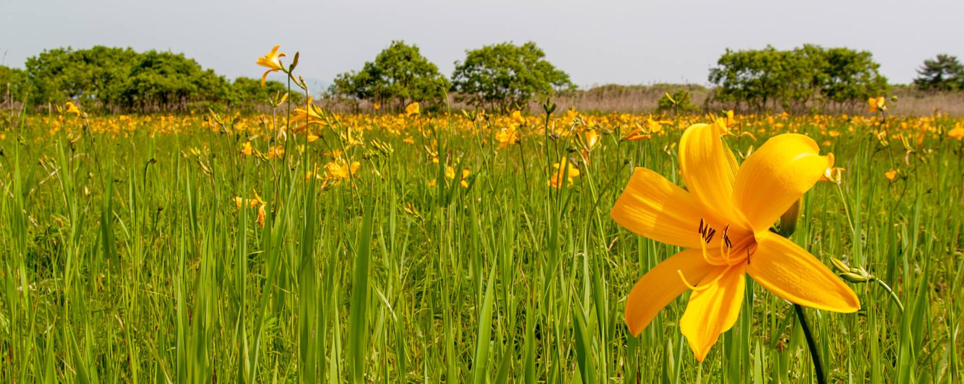 六ヶ所村内に咲くニッコウキスゲ